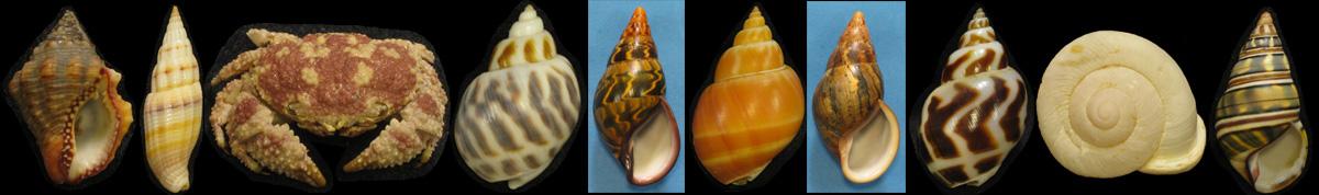 Molluscan Auction